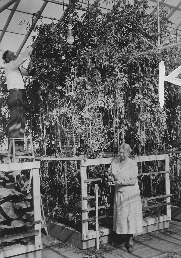 William F. Gericke and his wife show off greenhouse tomato crop grown with hydroponics.