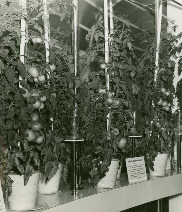 Heinz Chemiculture Tomatoes | New York World's Fair 1939